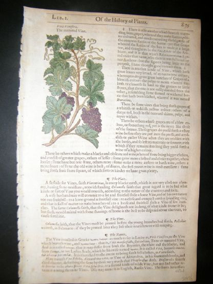 Gerards Herbal 1633 Hand Col Botanical Print. Common Grape Vine. Fruit | Albion Prints